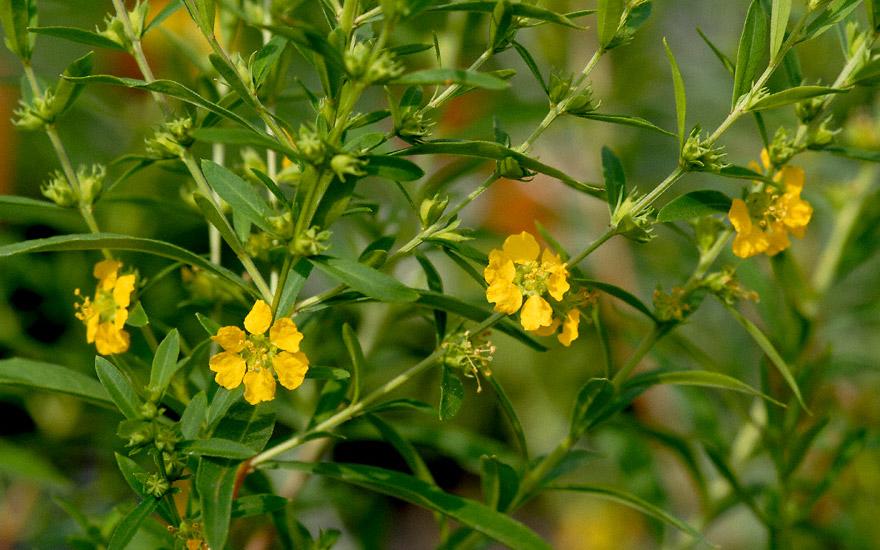 Sinicuichi (Pflanze)