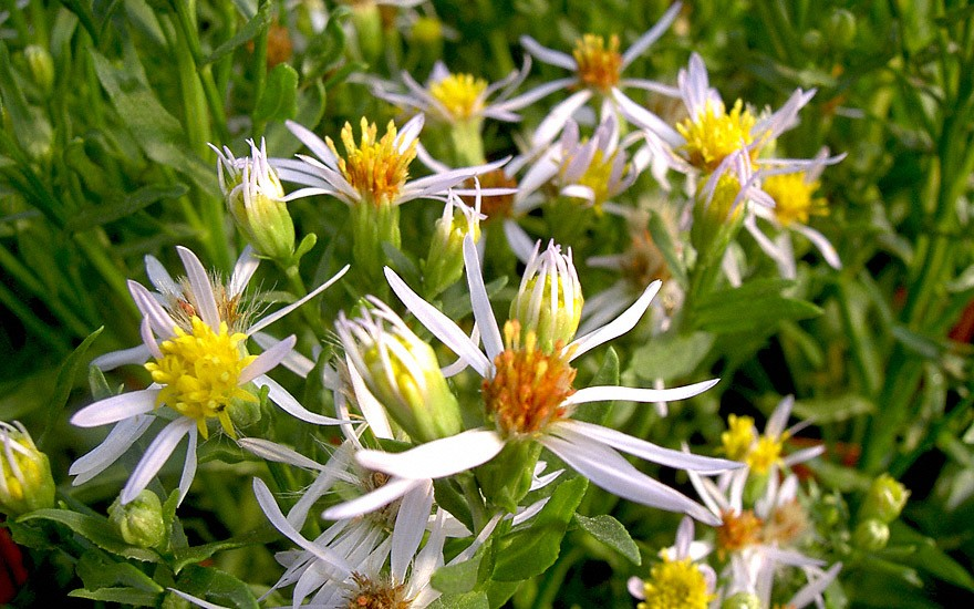 Strand-Aster (Pflanze)