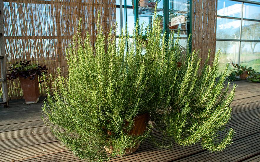 Pinien-Rosmarin (Pflanze)