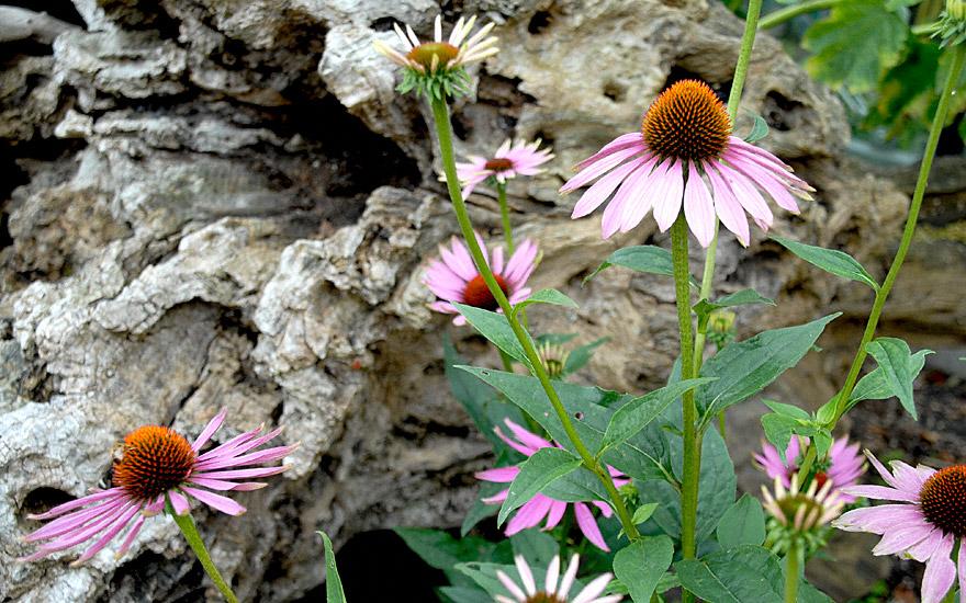 Echinacea (Saatgut)