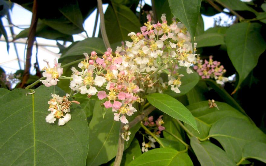 Ayahuasca, Yage (Pflanze)