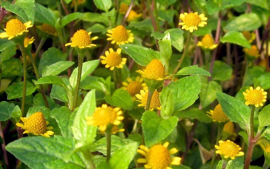 Parakresse, afrikanisch (Pflanze)