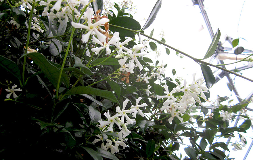 Sternjasmin (Pflanze)