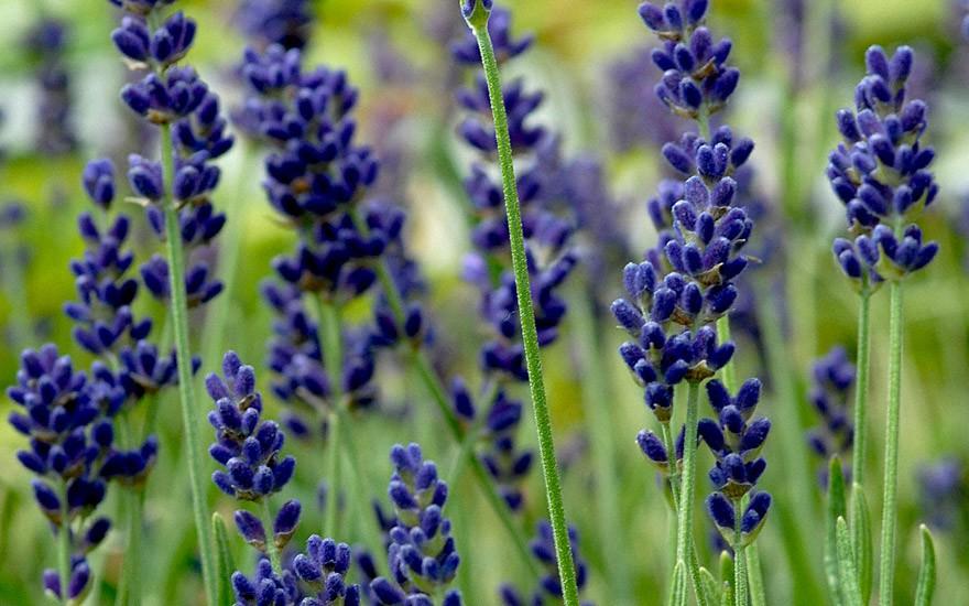 Lavendel 'Hidcote Blue' (Pflanze)