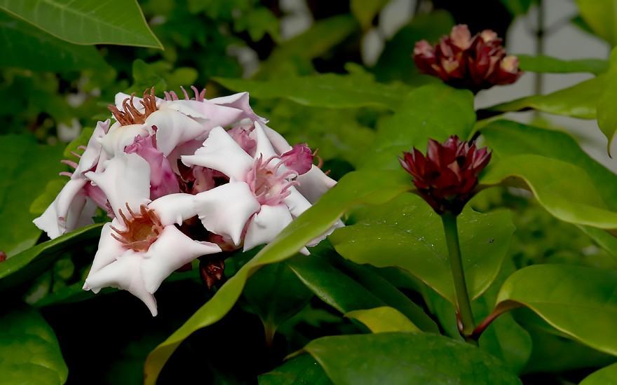 Strophanthus (Pflanze)