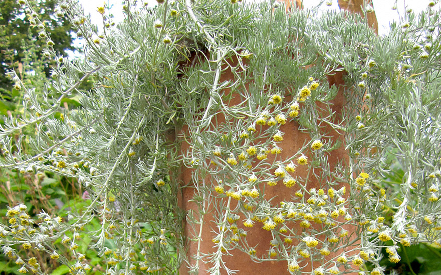 Gletscherraute (Pflanze)