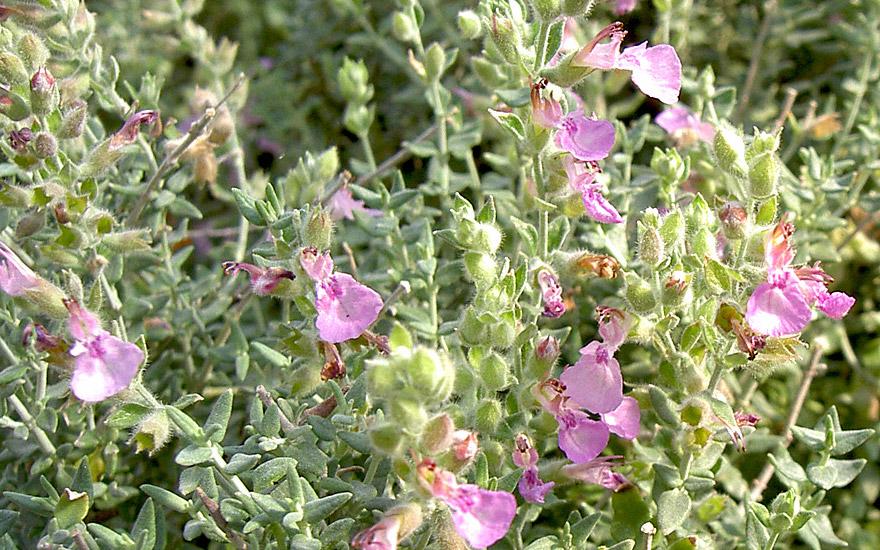 Katzengamander (Pflanze)