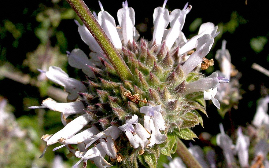 Kalifornischer Salbei (Saatgut)