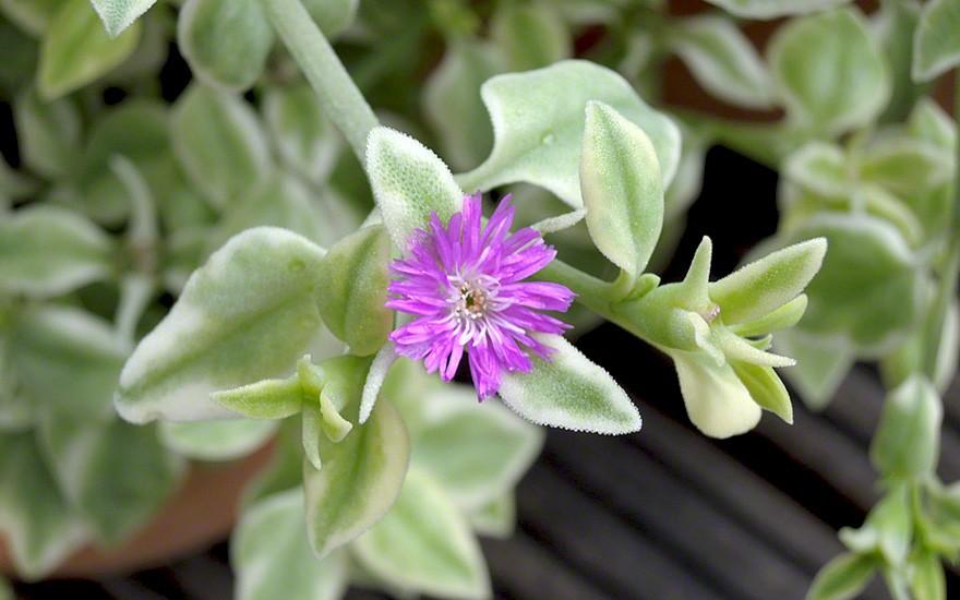 Herzblattsalat, weißbunt (Pflanze)