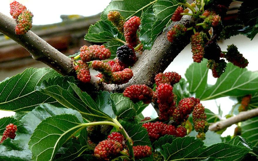 Schwarzer Maulbeerbaum (Pflanze)