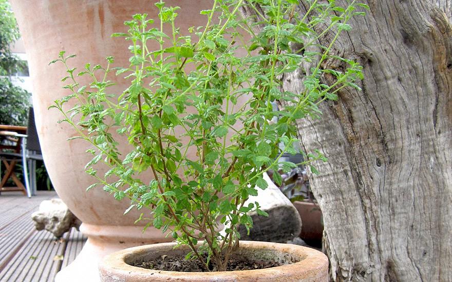 Dominikanischer Oregano (Pflanze)