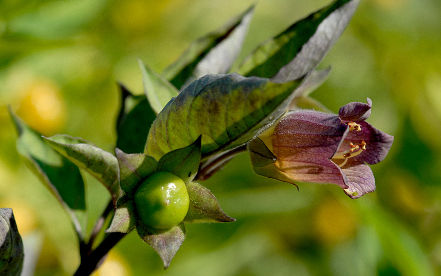Tollkirsche, schwarzfrüchtig (Saatgut)