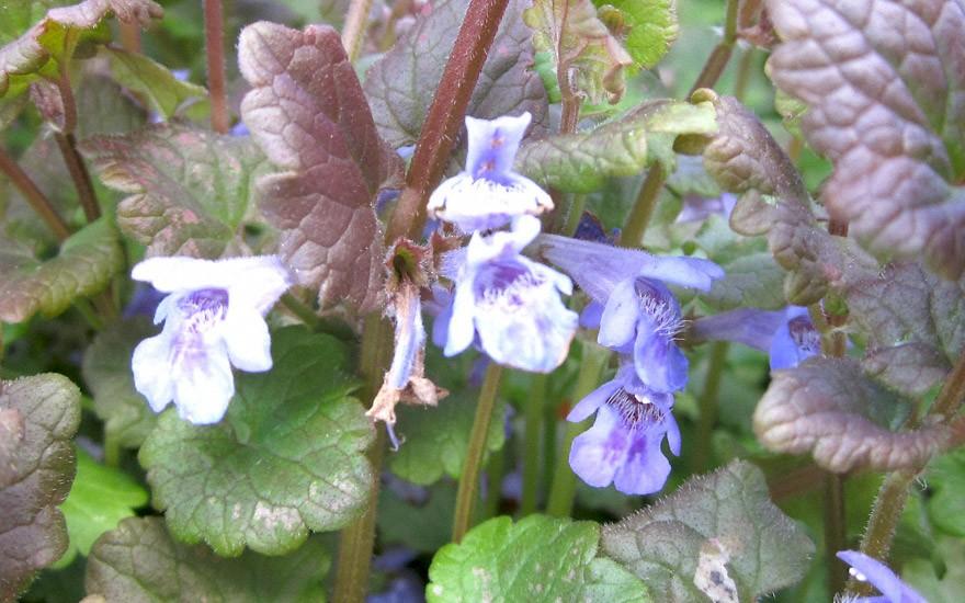 Gundelrebe (Pflanze)