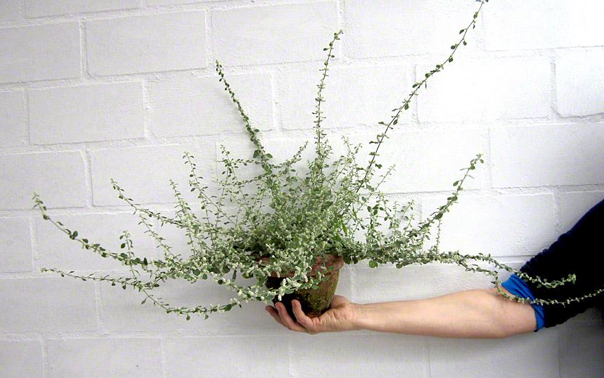 Polpala (Pflanze)