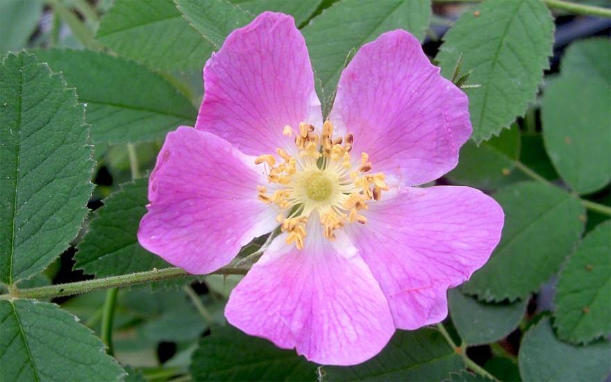 Mandarinen-Rose (Pflanze)