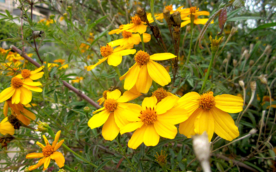 Strauch-Tagetes (Pflanze)