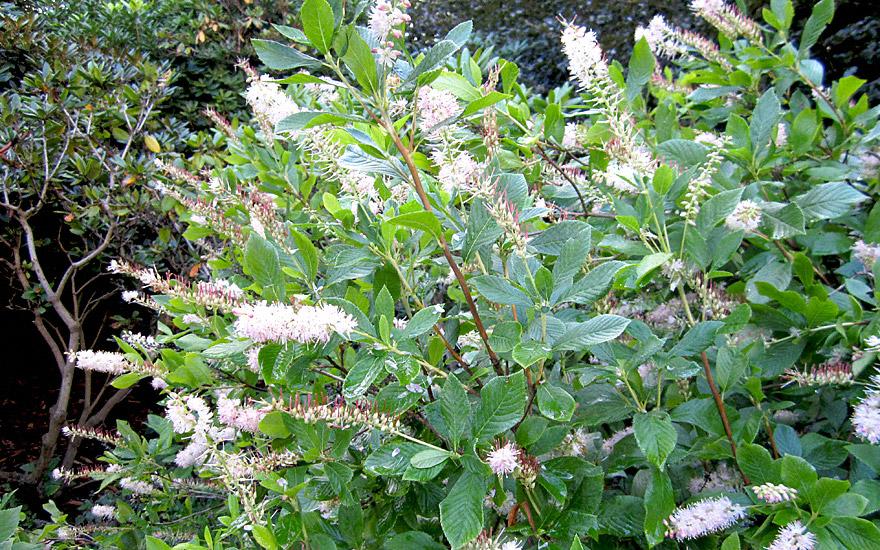 Zimt-Erle (Pflanze)
