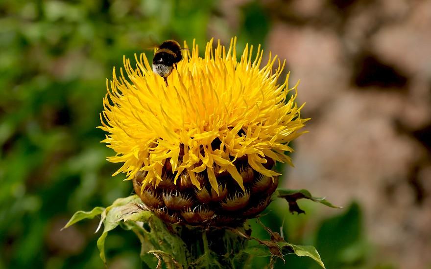Riesen-Flockenblume (Pflanze)