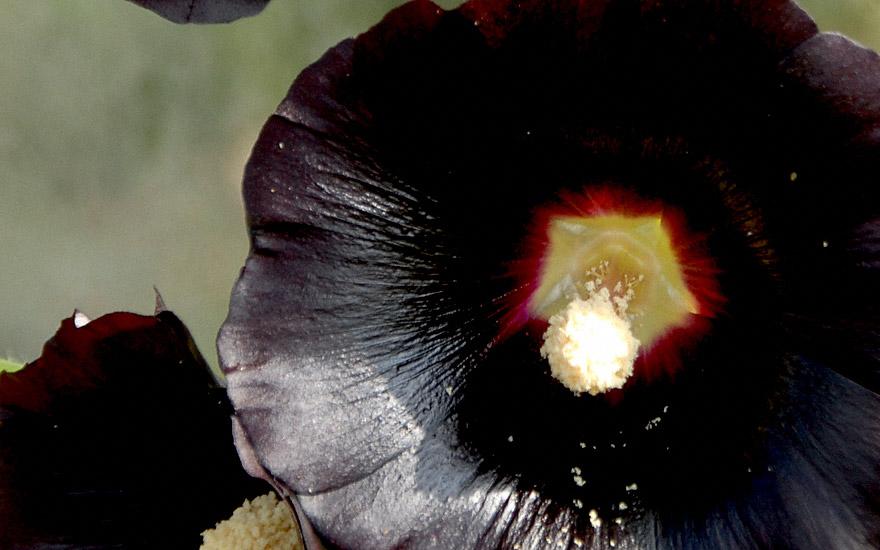 Schwarze Stockrose (Pflanze)