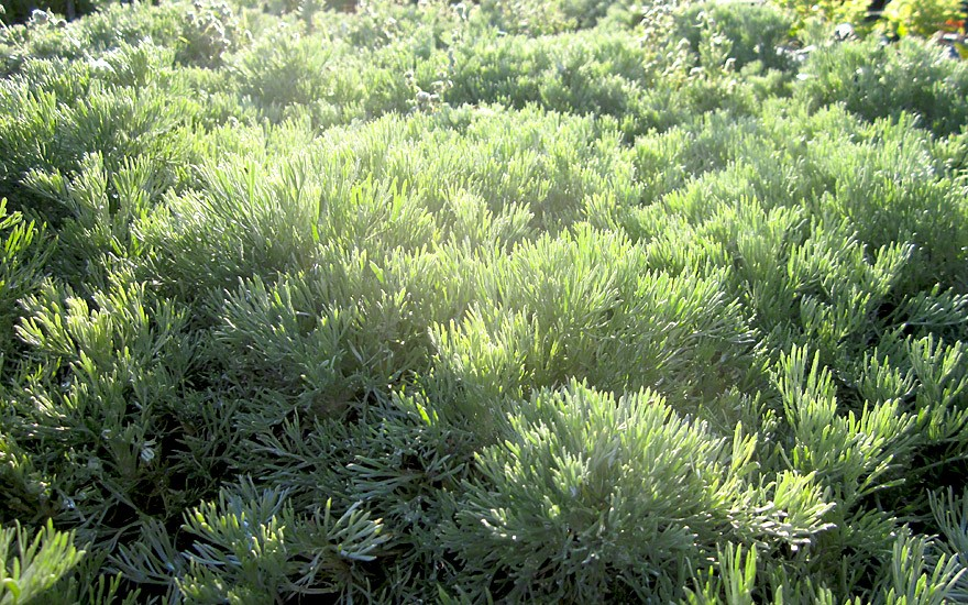Polsterraute (Pflanze)