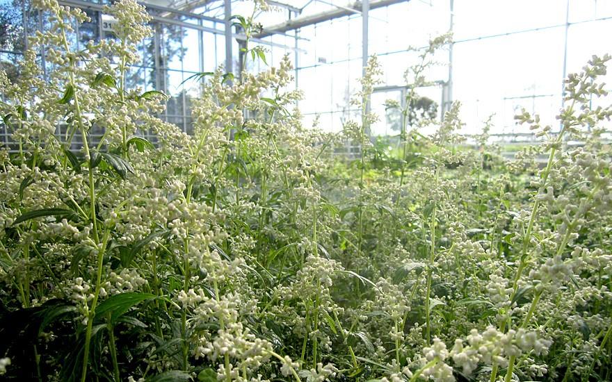 Weißer Beifuß (Saatgut)