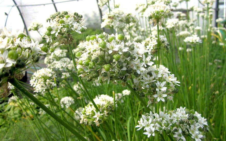 Chinesischer Lauch (Pflanze)
