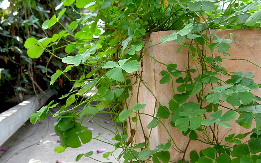 Sushni (Pflanze)