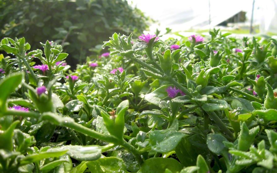 Herzblattsalat, Cordifole (Saatgut)