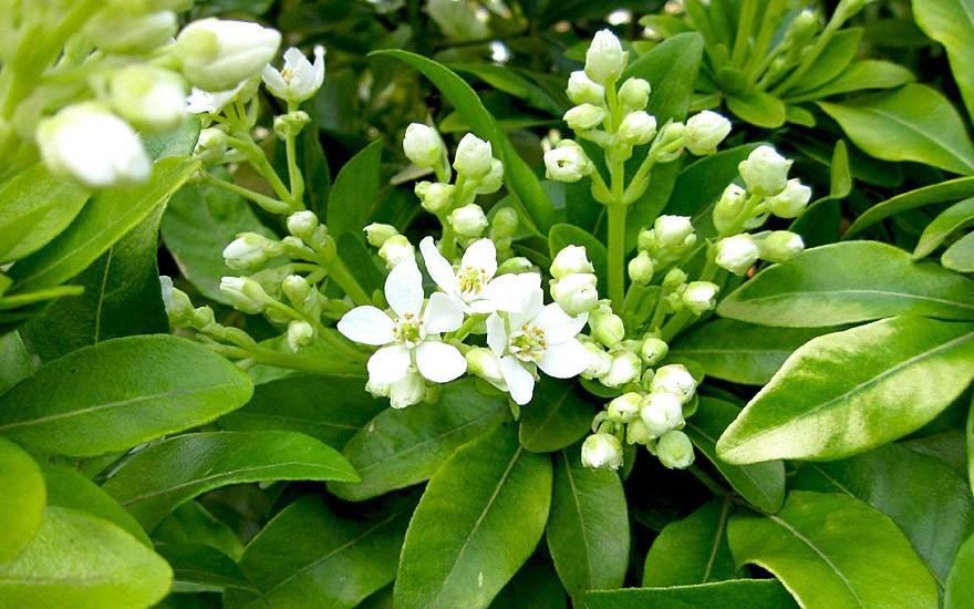 Mexikanische Orangenblume (Pflanze)