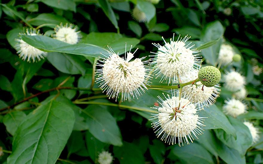 Knopfbusch (Pflanze)