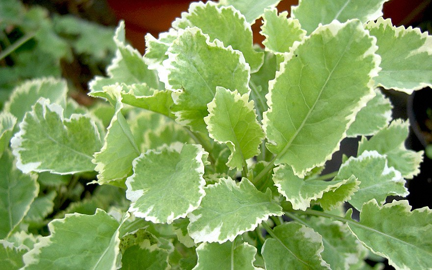 Ewiger Kohl, weißbunt (Pflanze)