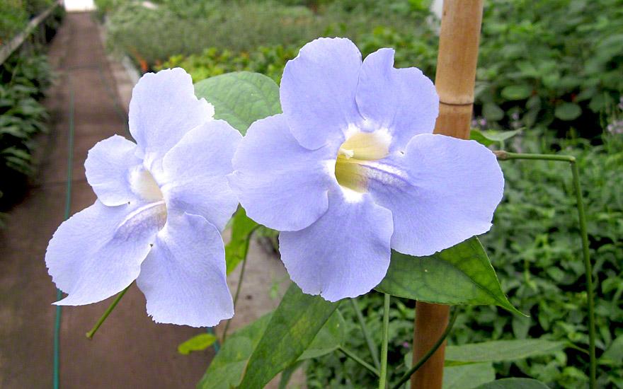 Rang Jued (Pflanze)