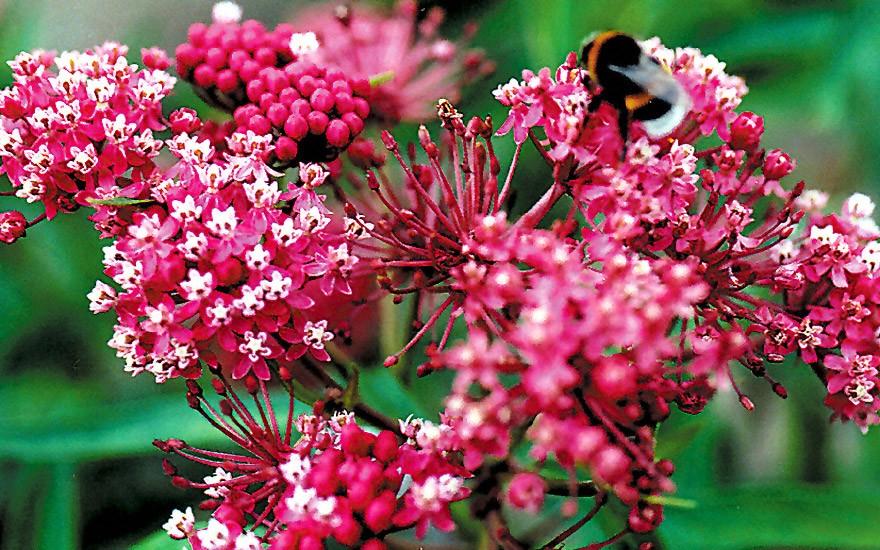 Knollige Seidenpflanze (Saatgut)