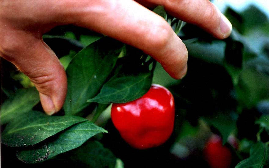 Baumchili, rot (Pflanze)