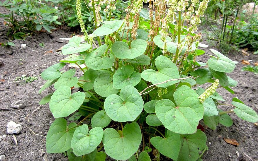 Säuerling (Pflanze)