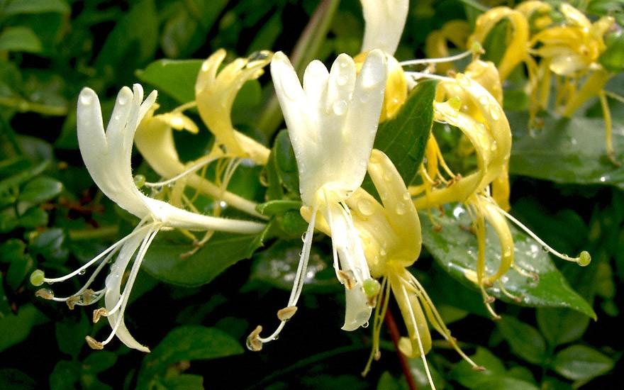 Japanisches Geißblatt (Pflanze)