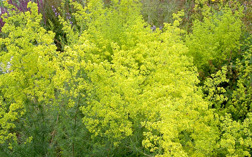 Labkraut (Pflanze)