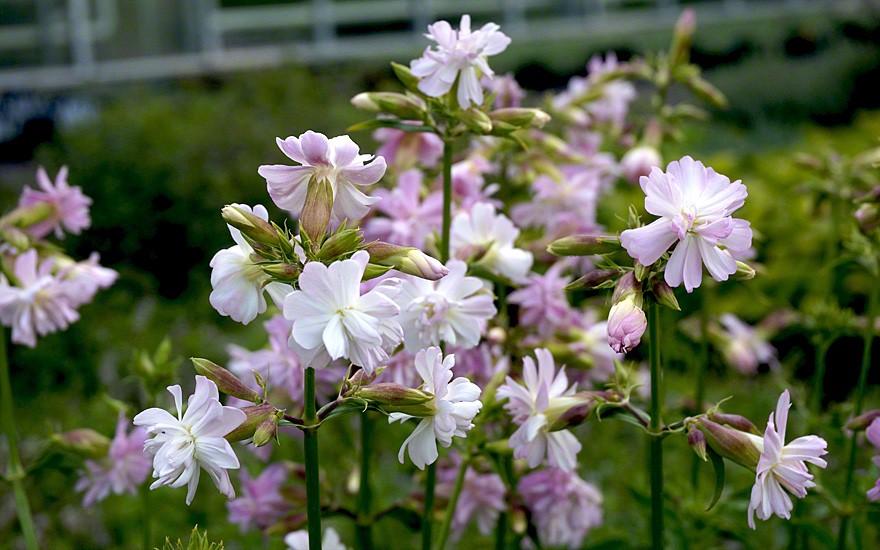 Frisch und pfeffrig duften die üppigen Blüten im Sommer