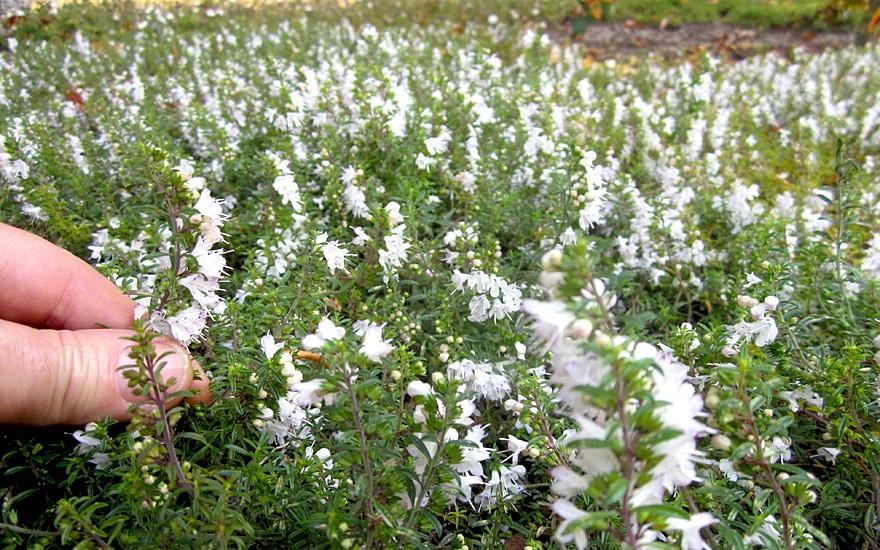 Bergbohnenkraut, kriechend (Pflanze)