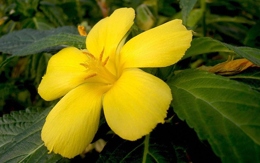 Damiana, großblättrig (Pflanze)