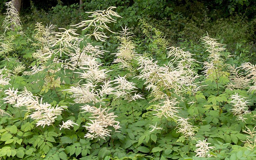 Gemeinsame Wald-Geißbart (Saatgut) - Aruncus dioicus | Wildgemüse | Essbare &MZ_44