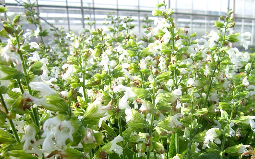 Weißer Zwergsalbei (Pflanze)