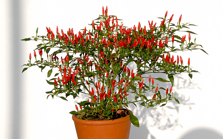 mini chili bonsai chili pflanze capsicum annuum gew rzpaprika chili. Black Bedroom Furniture Sets. Home Design Ideas