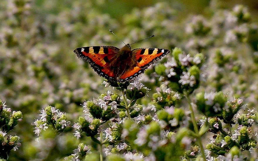 Schmetterlinge mögen auch diesen Origano