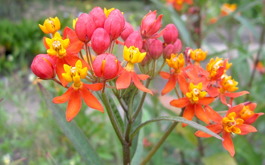 Rote Seidenpflanze (Saatgut)