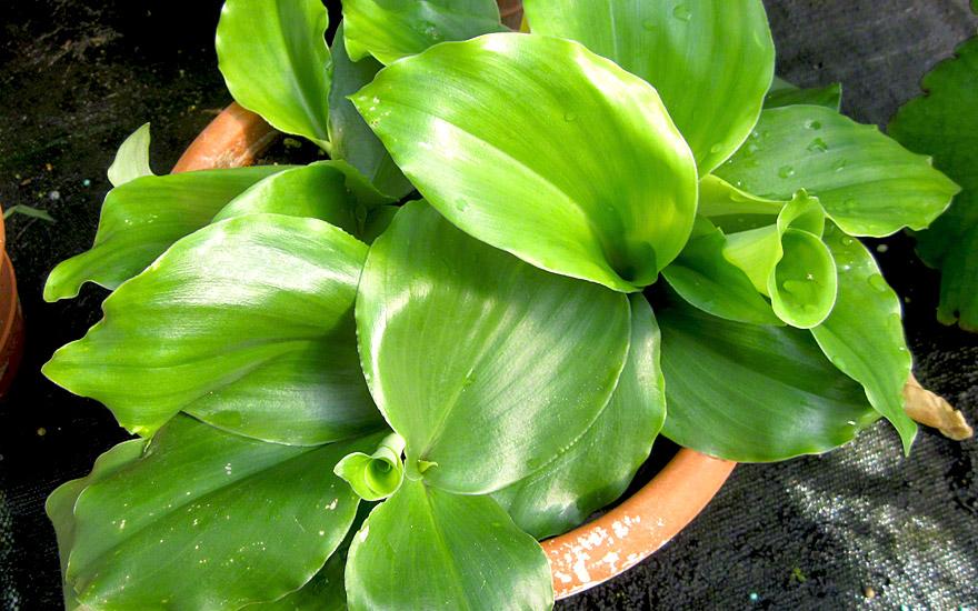 Gewürzlilie (Pflanze)