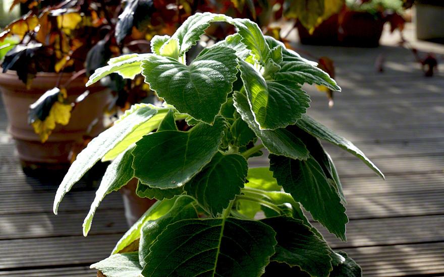 Ideal als Zimmerpflanze, Blätter duften bei Berührung