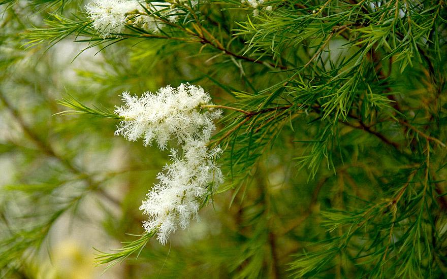 Teebaum (Pflanze)