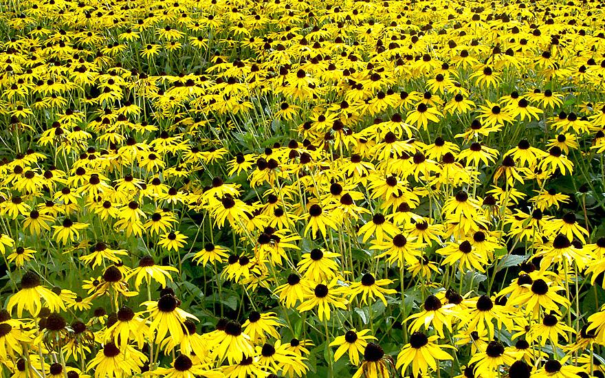 Gelber Sonnenhut (Saatgut)