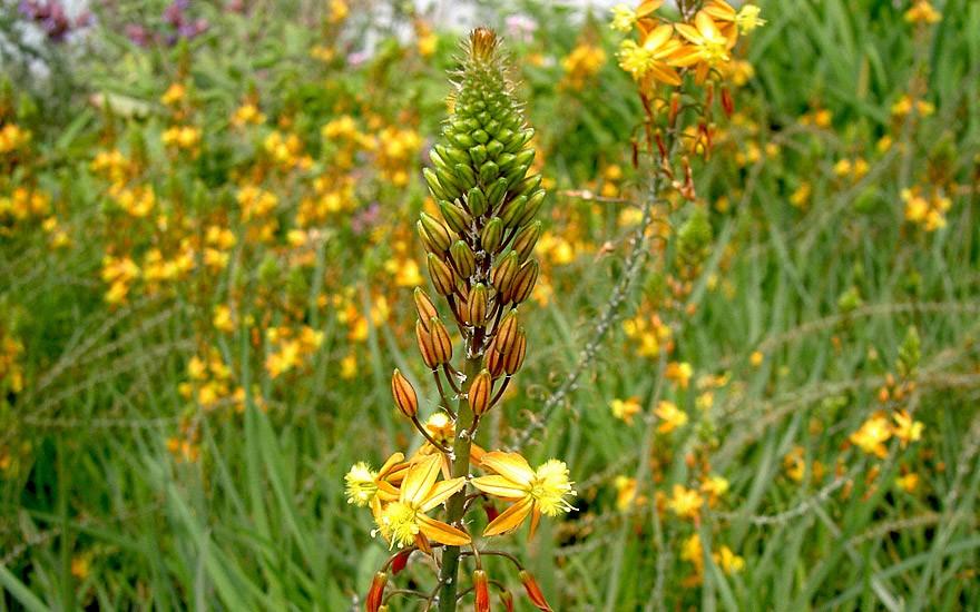 Bulbine, Katzenschwanzpflanze (Pflanze)
